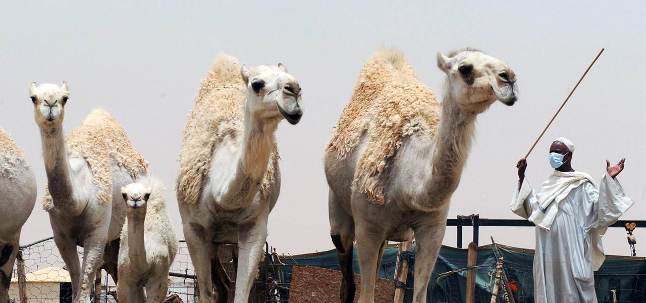 Our research in the media: (NBC News) MERS MYSTERY-New Report Nails Camels As A Direct Source of MERS