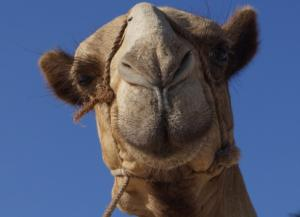 Our research in the media: (CIDRAP) Study builds case for camel-human link in MERS